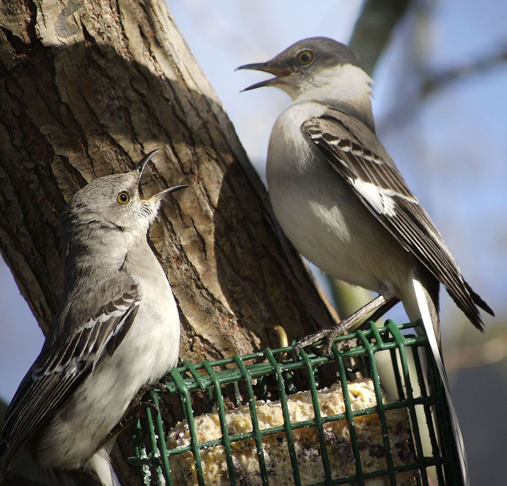 northern mockingbird eating at a suet feeder
