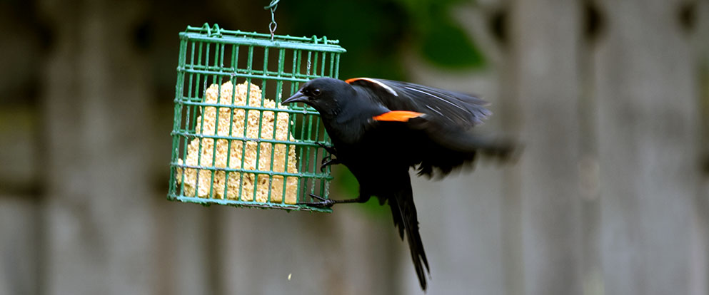 red-winged blackbird landing at a suet feeder