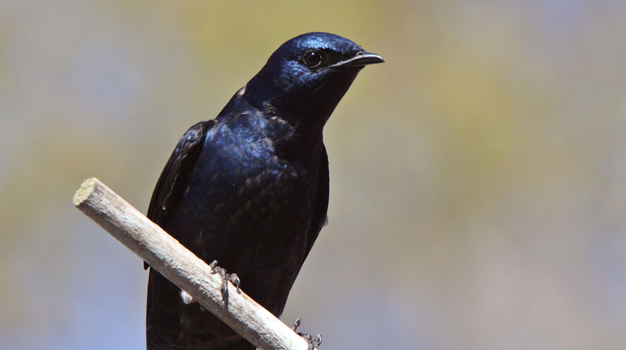 close up of a purple martin bird