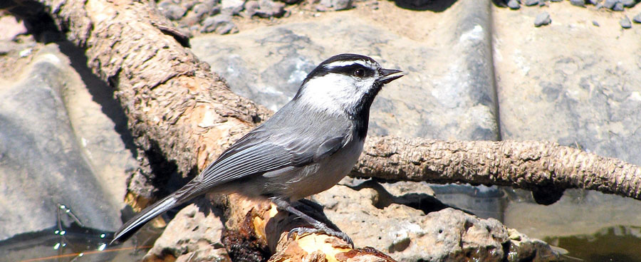mountain chickadee near a stream