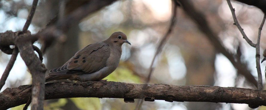 mourning dove in light