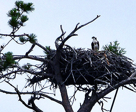 osprey sitting on its nest