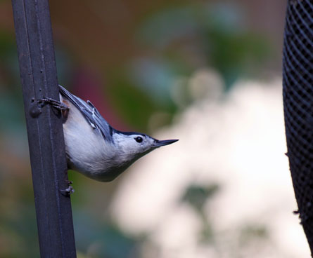 nuthatch hanging off bird feeder
