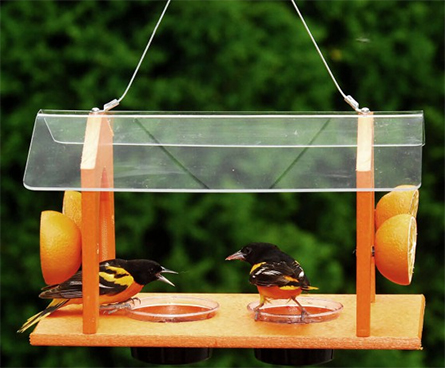 oriole bird eating fruit