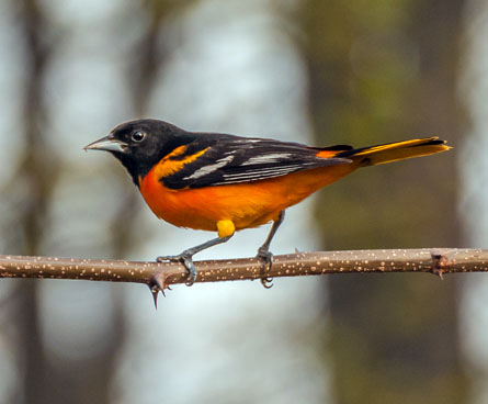 baltimore oriole bird on a tree branch