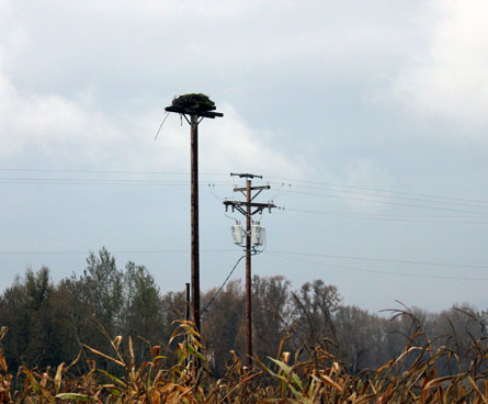 osprey nest on pole