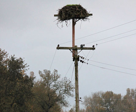 close up of osprey bird nest