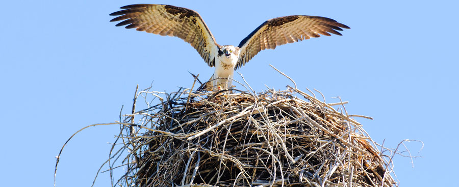 osprey bird landing on nest