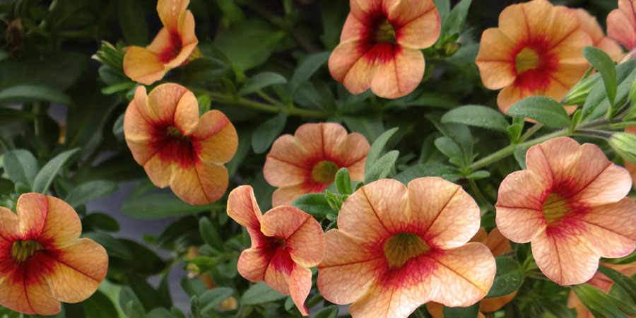 pretty petunia plants blooming