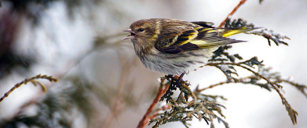 beautiful pine siskin bird on a branch