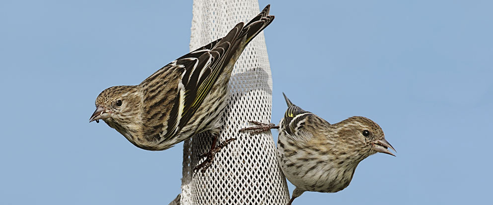 pine siskins eating at a bird feeder