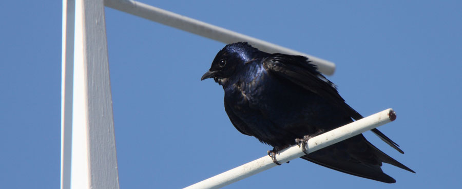 close up of purple martin bird