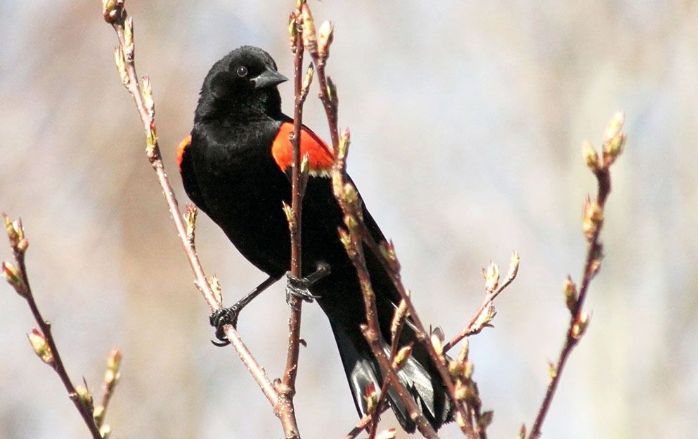 stunning and regal red-winged blackbird