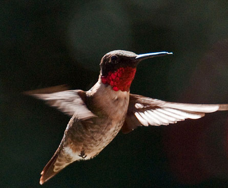 ruby throated hummingbird flying