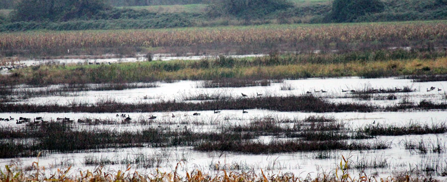 water birds in marsh