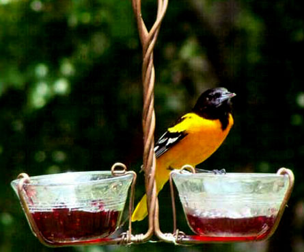 oriole bird eating at a jelly feeder
