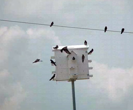 purple martins everywhere