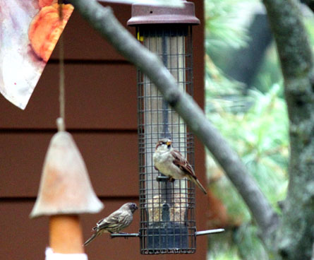 sparrow birds at feeder