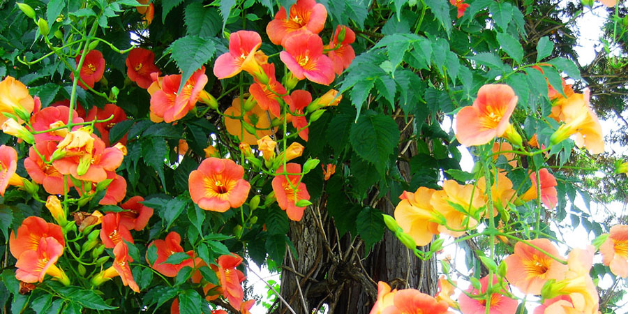 orange trumpet creeper