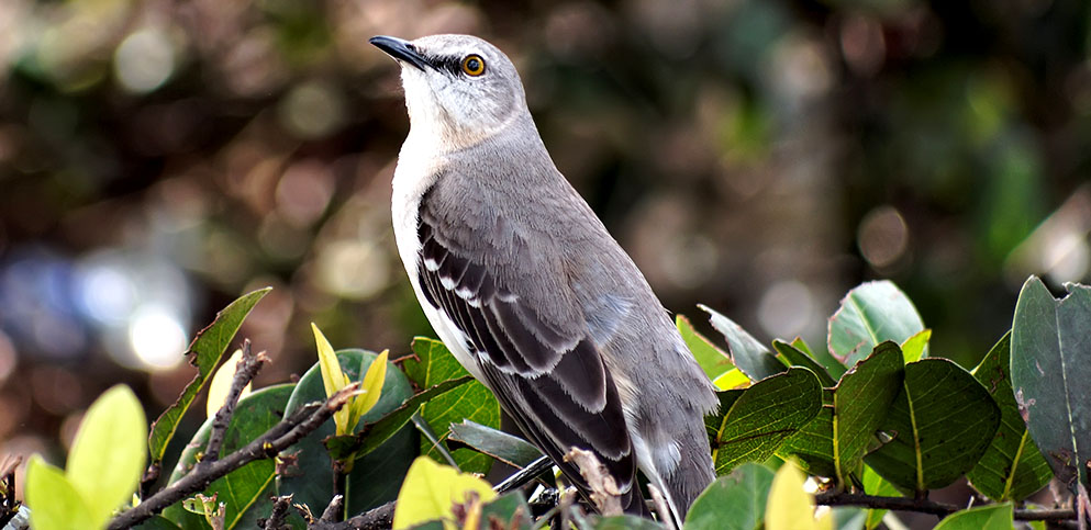 intelligent looking northern mockingbird
