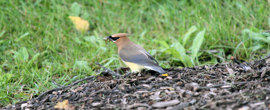 cedar waxwing eating insect
