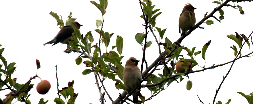 cedar waxwing birds in a tree