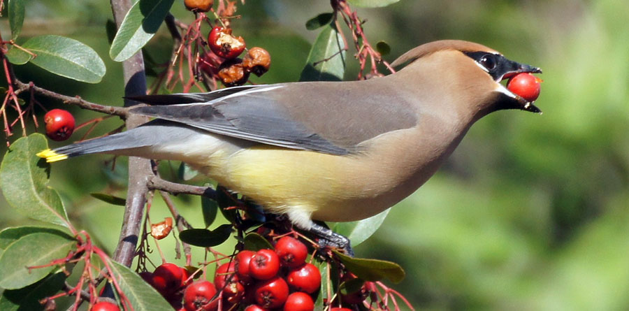 cedar waxwing bird eating berry