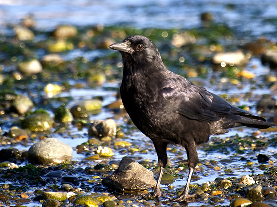 American Crow in a stream