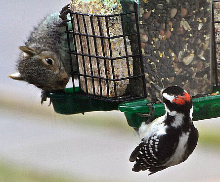 woodpecker and squirrel together