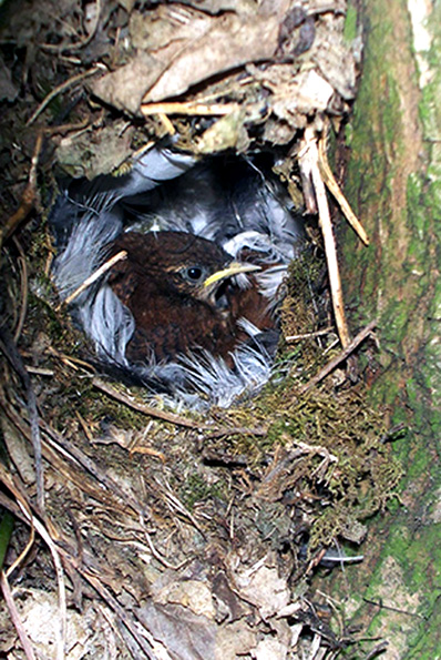 young wren in its nest