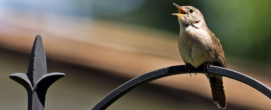 house wren singing a song