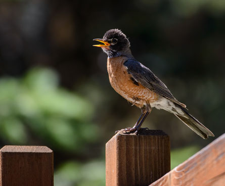 young robin bird on a fence
