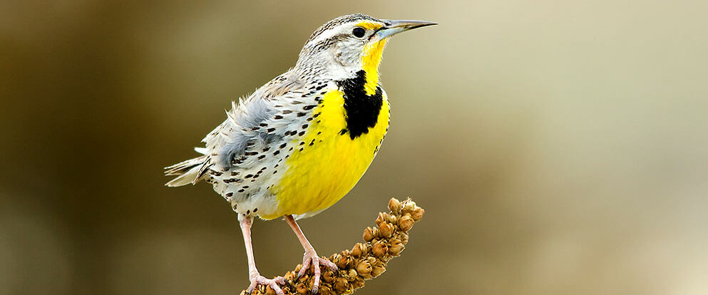 [Image: western-meadowlark.jpg]