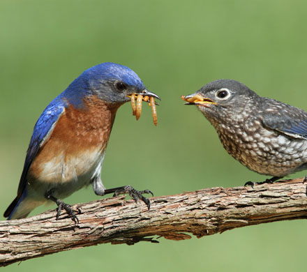 Bluebird pics & tips