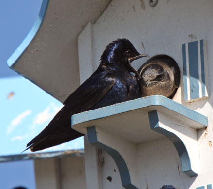 All about purple martins