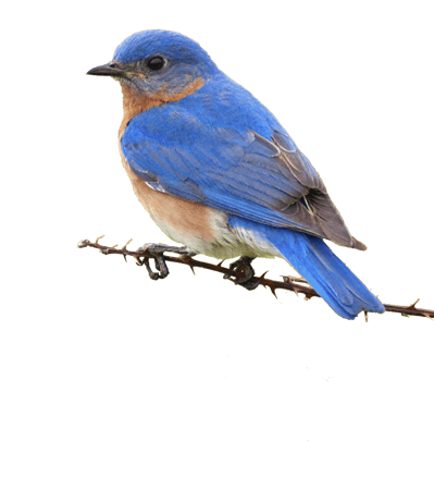 small blue bird on branch