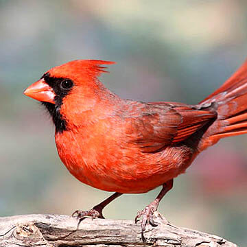 How to attract Northern Cardinals to your yard