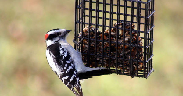 Spotting downy woodpeckers