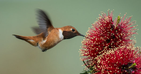 Hummingbird pics & tips
