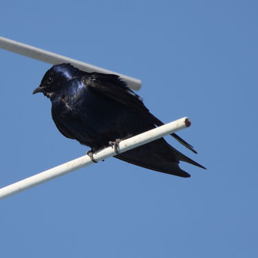 Creating a purple martin community