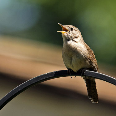 Common little songbirds